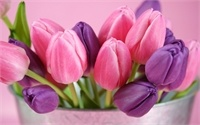 pink-and-purple-tulips-flowers_2560x16001